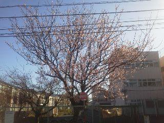 七分咲き.jpg