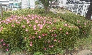庭つつじ200520.jpg