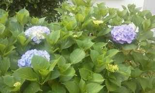 紫陽花200610.jpg